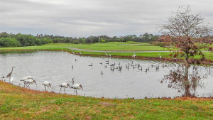 Wood Storks, Great Egrets and othe birds feeding in pond at Falcan Watch Golf Club in Kings Point, FL